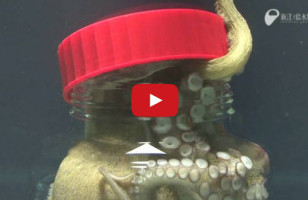 Octopus Opens Up A Jar From The Inside