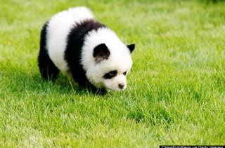 DAW!: Panda Dogs Are Dogs That Looks Like Pandas