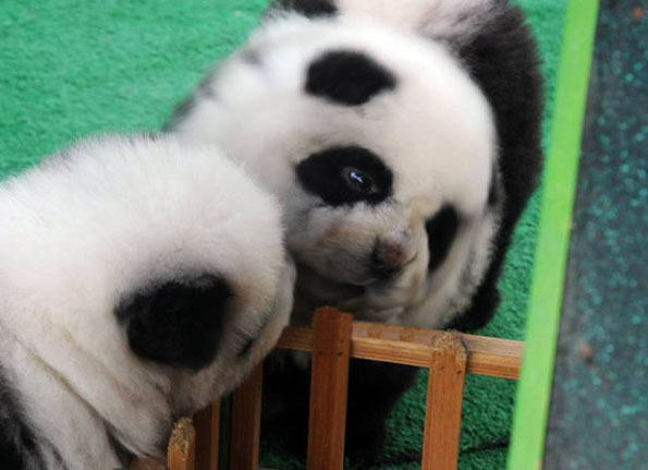 Dogs Made To Look Like Pandas