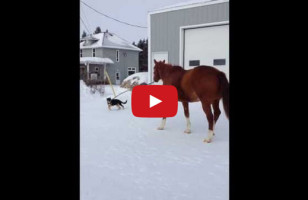 DAW!: A Little Puppy Takes A Big Horse For A Walk