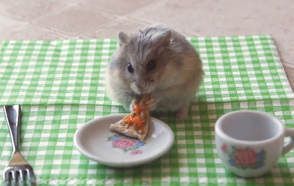 tiny-hamster-eating-pizza-video