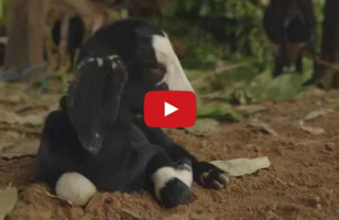 What Happens When A Fly Flies Up Baby Goat's Nose…