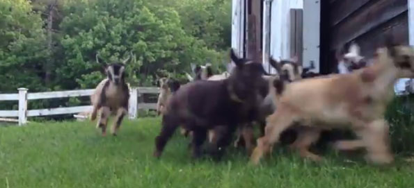 baby-goats-stampede-2