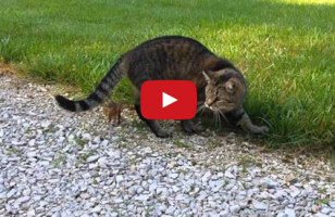 Cat Tries To Make Chipmunk Dinner, The Little Guy Fights Back!