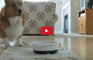 Corgi Does A Little Food Dance At Meal Time, It's Insanely Cute