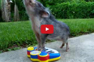 Insanely Cute Pig Plays A Toy Piano, Now I Am Dead