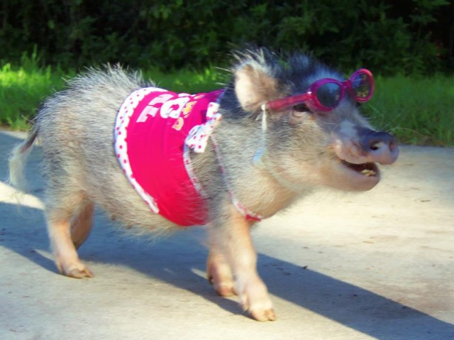 cute-pig-sing-3