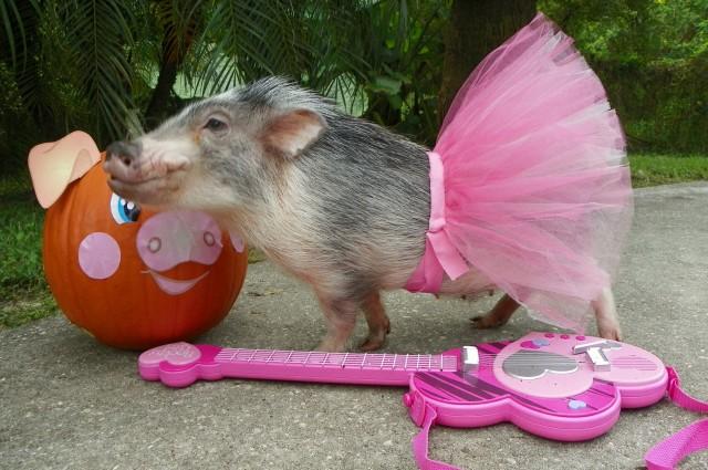 cute-pig-sing-4