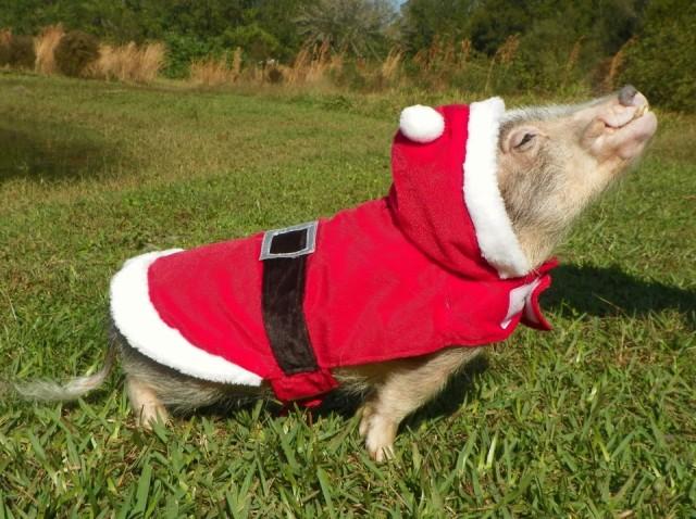 cute-pig-sing-5