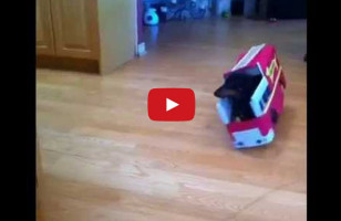 These Dachsunds Make The Most Hilarious Firefighters