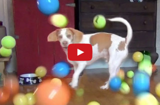 This Dog Receives 100 Balls For His Birthday. Luckiest Pup Ever!