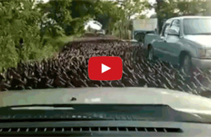 Is A Duck Stampede A Sign Of The Apocalypse?