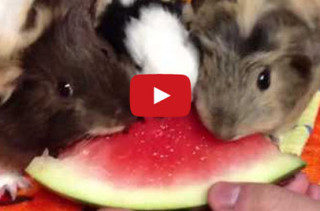 Guinea Pigs Eating Watermelon Will Make You Happy