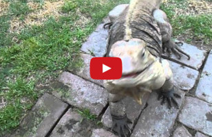 Giant Lizard Thinks He's A Dog, Comes When He's Called