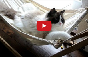 This Cat Proves That Hammocking Is Hard Even For Kitties