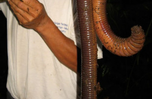 Giant Earth Worm Found, Measures Nearly 5 Feet