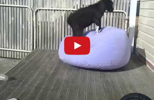 Goat Vs Inflatable Chair: WHO WINS?