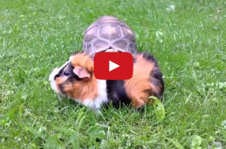Diva Tortoise Sneaks Up On A Guinea Pig, Steals The Spotlight