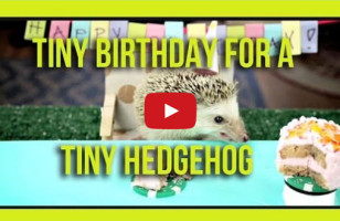 Hedgehog & Hamsters Noshing On Tiny Cakes, BRB I'm Dead
