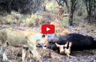 Lion Cub Gets Head Stuck Up A Dead Buffalo's Butt