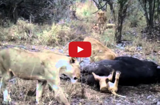 Lion Cub Gets Head Stuck Up A Dead Buffalo's Butt