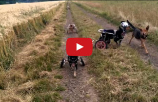 Paralyzed Dogs In Wheelchairs Playing Fetch Is The Sweetest