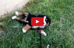 A Compilation Of Puppies Rolling Down Hills Will Make You :D