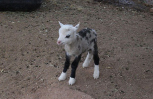A Geep Is A Goat Plus A Sheep & It Is Adorable