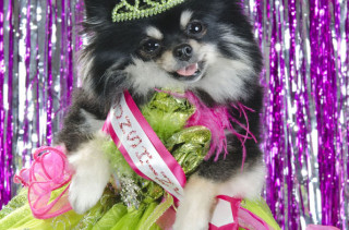 Dog Pageants Is A Thing & It's Really... Something