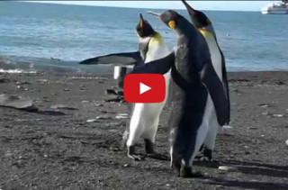 Watch As Penguins Engage In An Epic Slap Fight
