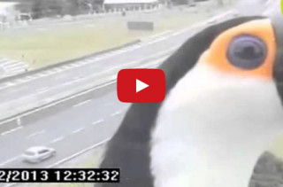 Daw! Toucan Gets Up Close & Personal With A Traffic Cam