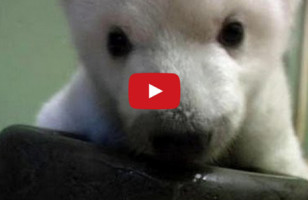 TOO MUCH CUTE: Baby Bear Taking First Steps