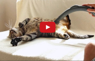 Most Cats Hate It, But This Kitty Loves The Vacuum