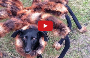 Mutant Giant Spider Dog Is Best/Worst Prank Ever