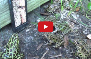 Watch Frogs Flock To A Worm Video On An iPhone