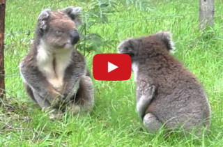 Koalas Fighting. What Is The World Coming To?