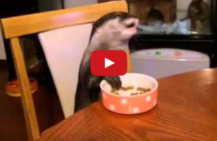 This Otter Has Better Table Manners Than You