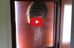 Peek Inside This Wasps Nest Built On A Window