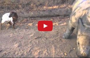 A Baby Rhino Imitates A Goat Resulting In All The Adorable