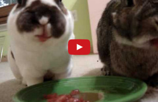Bunnies Eating Watermelon Might Be The Cutest Thing Ever