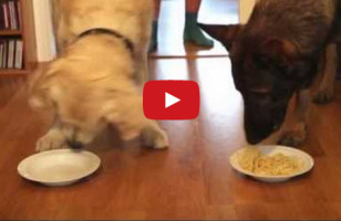 Dogs Participate In Cutest Spaghetti Eating Contest Ever