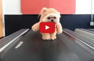 A Dog In A Teddy Bear Costume On A Treadmill