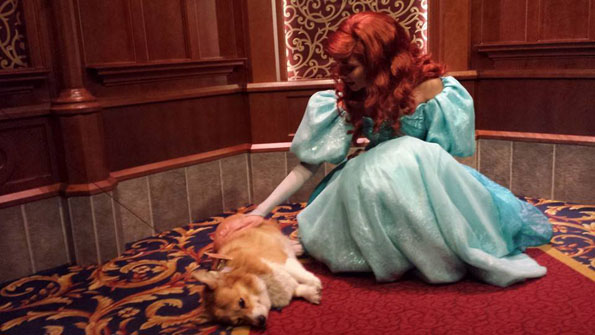 A Corgi Goes To Disney World Amp Poses With Characters