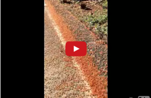 This Footage Of A Tiny Red Crab Migration Will Make You Squirm
