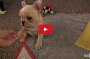 Watch This French Bulldog Puppy Perform His New Tricks