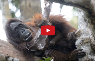 An Orangutan Steals A Bar Of Soap, Uses It Like A Person