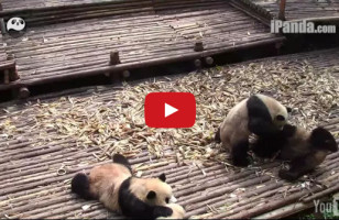 Pandas Fighting Is The Cutest Thing You'll See All Day