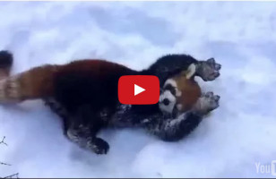 These Red Pandas Playing In The Snow Is Beyond Cute