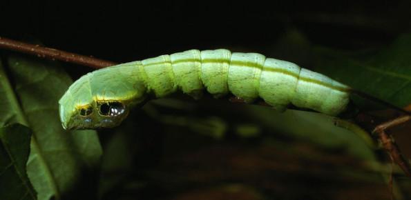 snake-caterpillar-2