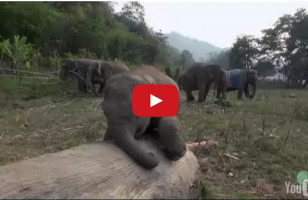Squee Your Face Off Watching A Baby Elephant Play